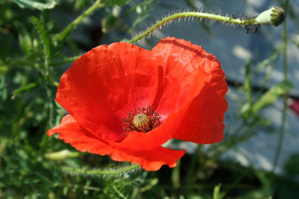 Download Free Stock HD Photo of Poppy Online