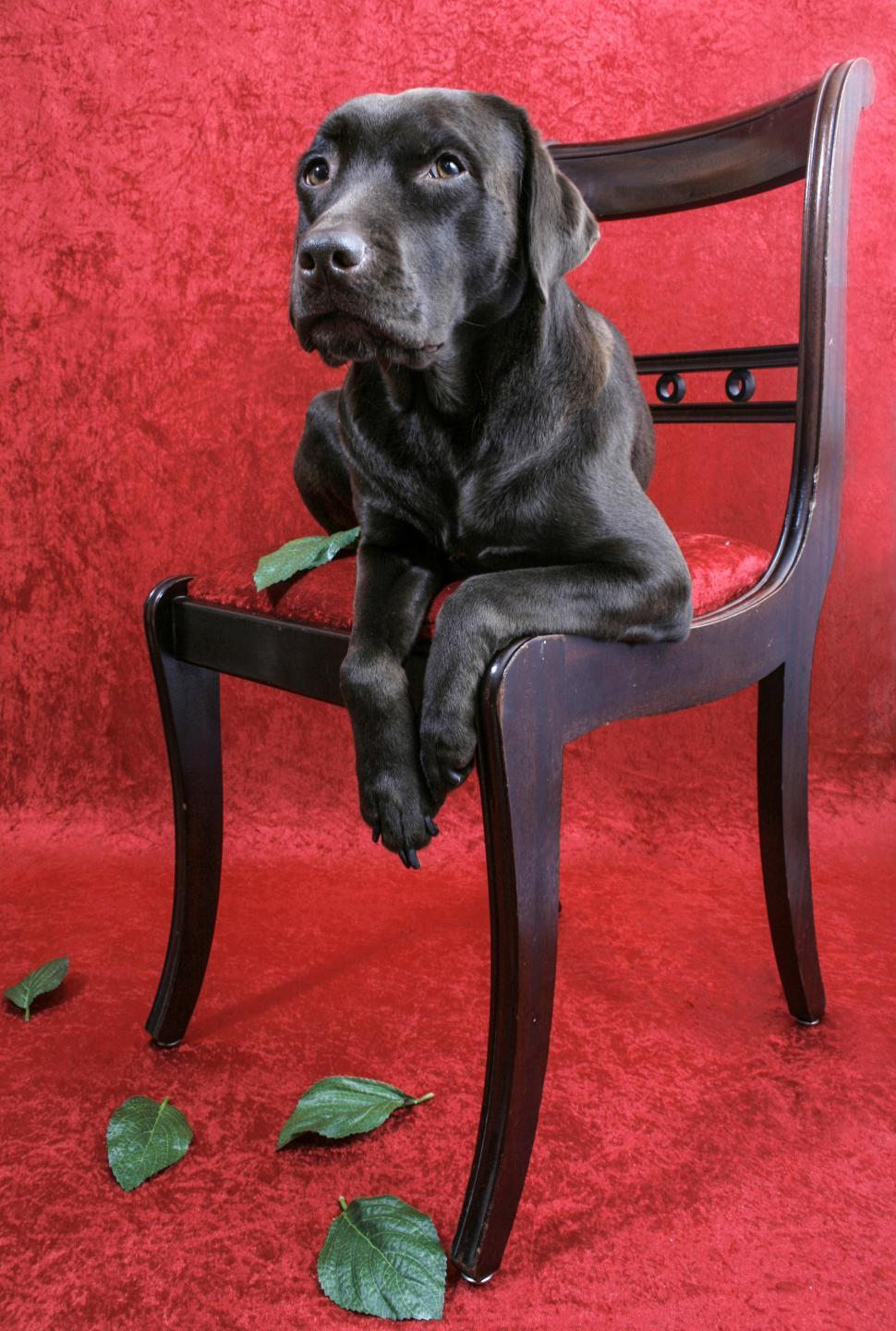 Download Free Stock HD Photo of Labrador dog on chair Online