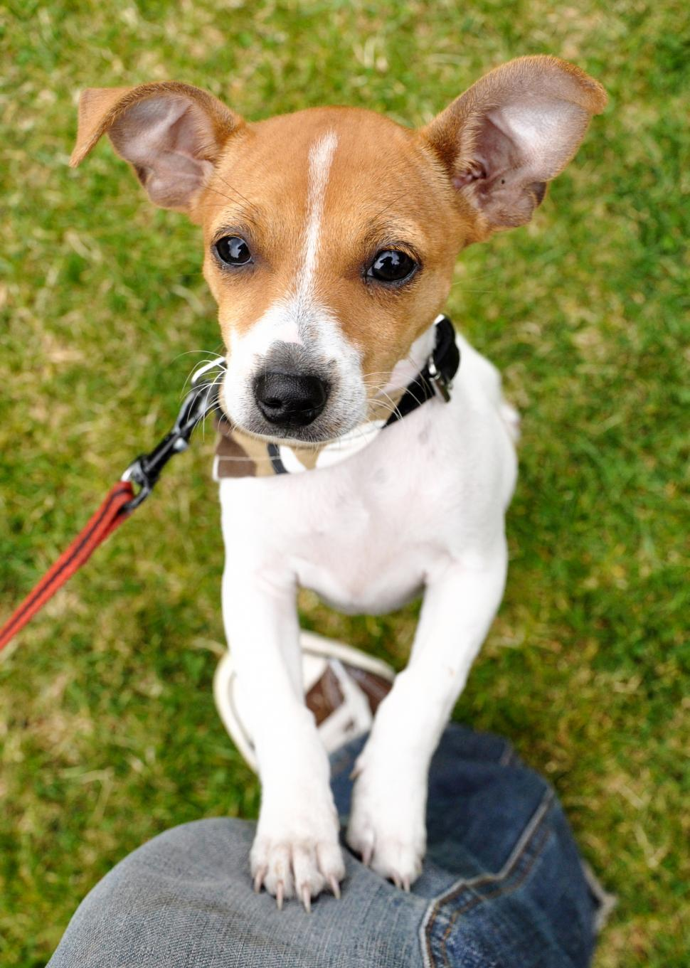 Download Free Stock HD Photo of Jack russel puppy jumping Online