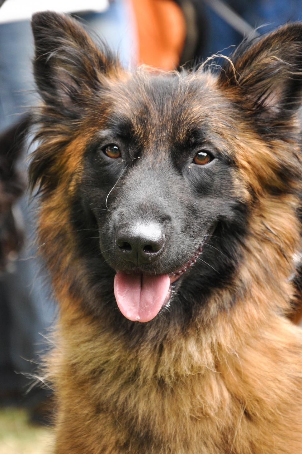 Download Free Stock HD Photo of Beautiful german shepherd Online