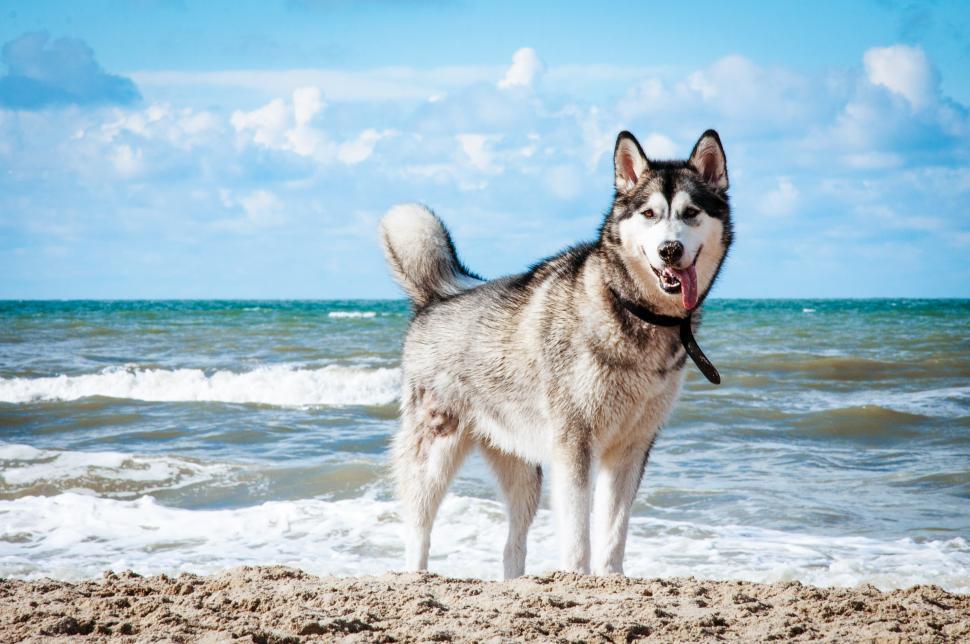 Free image of husky on the beach