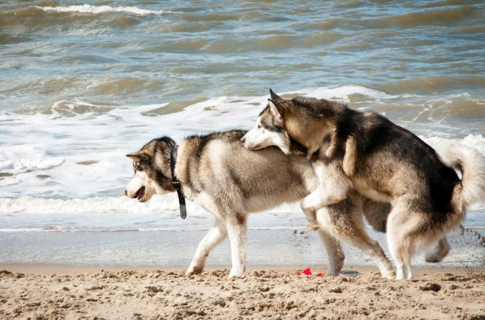 Download Free Stock HD Photo of husky mating on the beach Online