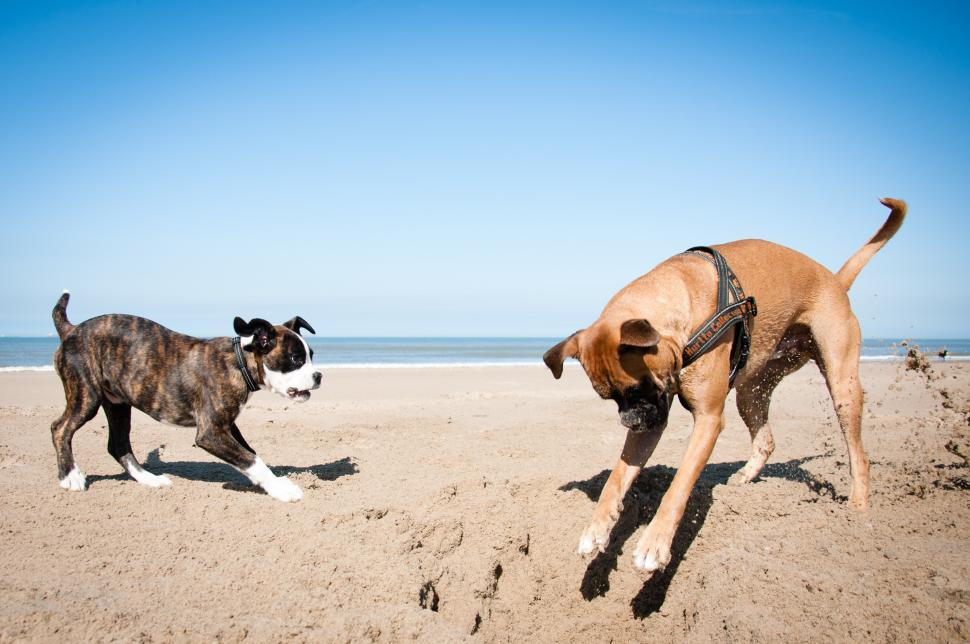 Download Free Stock HD Photo of boxer dogs playing puppy playing at the beach Online