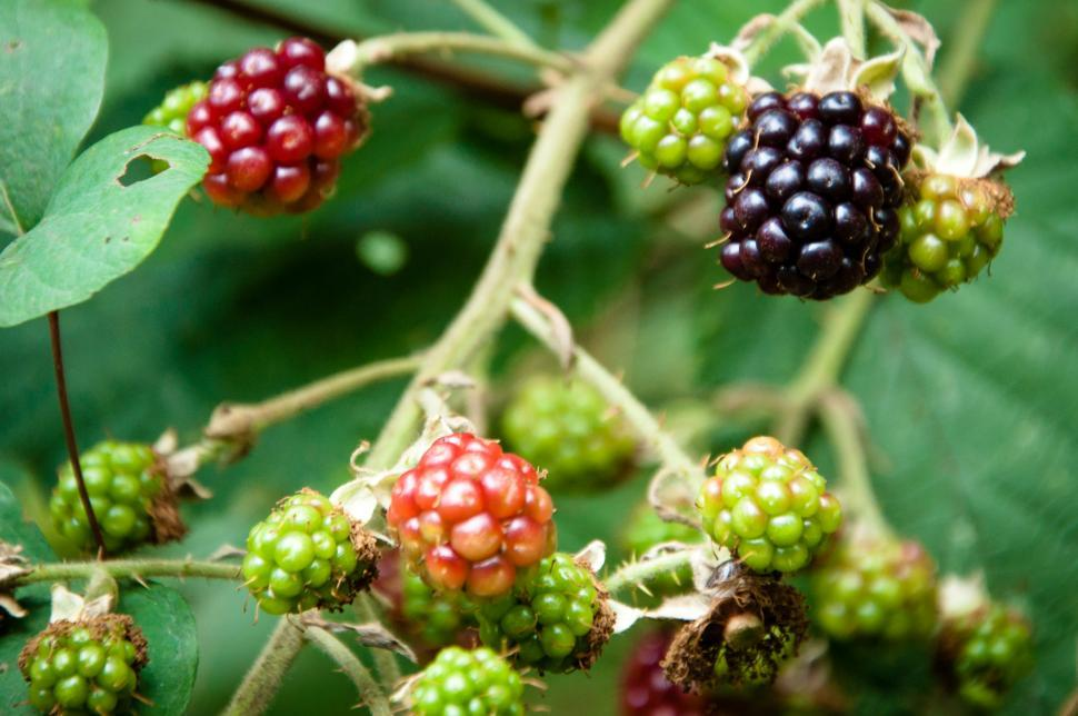 Download Free Stock HD Photo of berries the wild Online