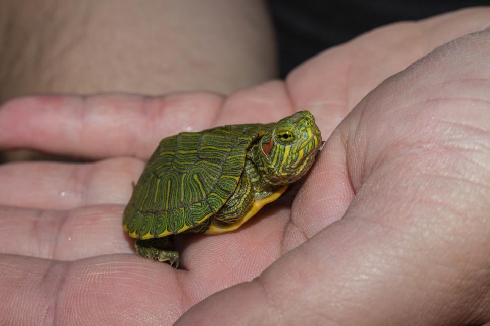 Download Free Stock HD Photo of Baby Red Ear Slider Online