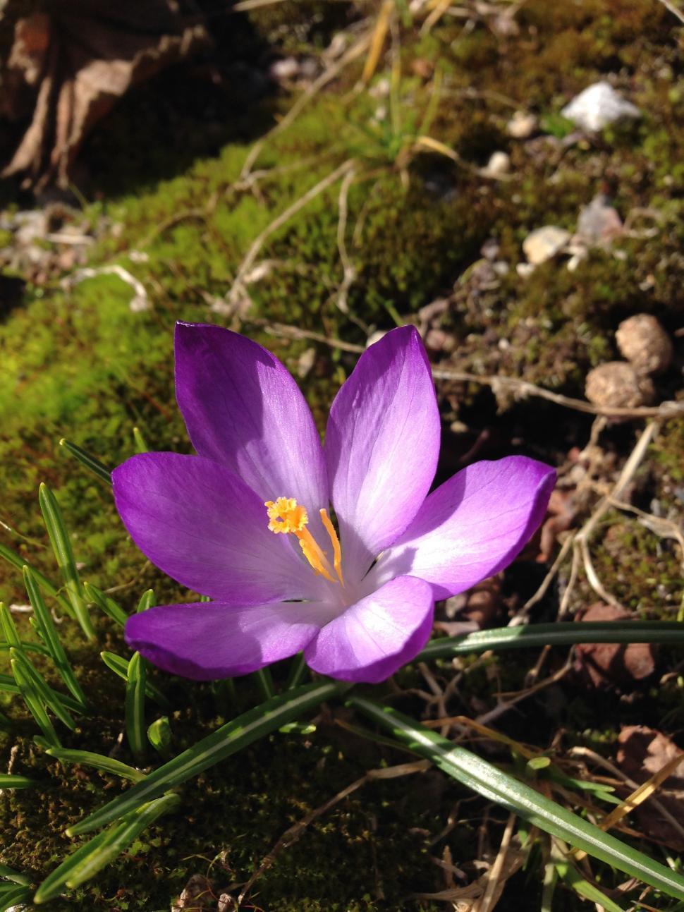 Get Free Stock Photos Of Crocus Flowers Online Download Latest