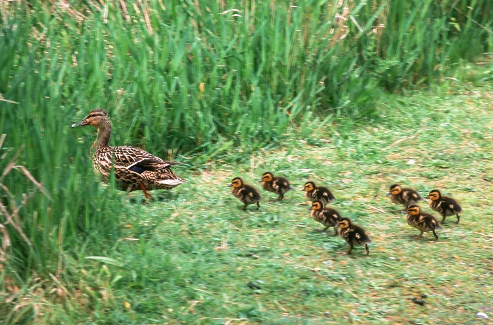 Free image of Mallard (Anas platyrhynchos), female with ducklings in the meadow
