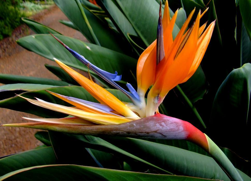 Download Free Stock HD Photo of Strelitzia reginae - Crane Flower or Bird of Paradise Online