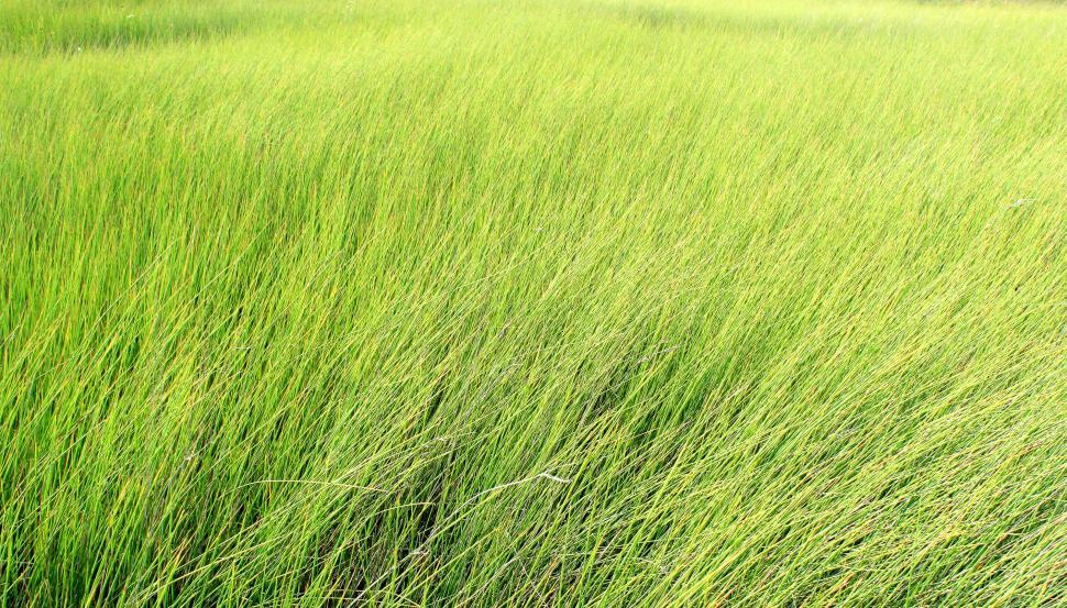 Get Free Stock Photo of Tall grass - texture Online ...