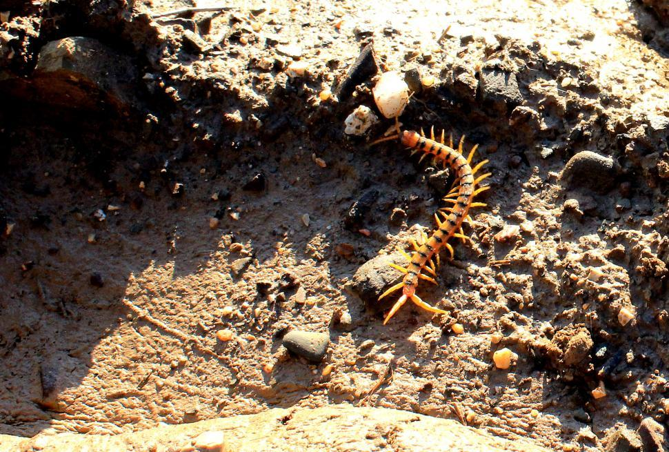 Download Free Stock HD Photo of Megarian Banded centipede Online