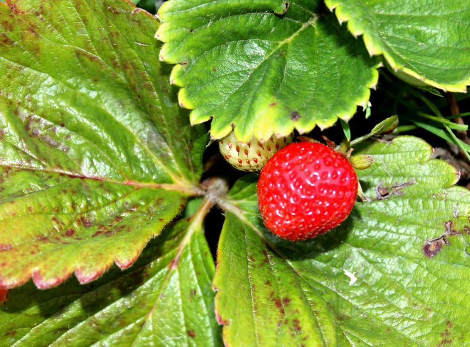 Download Free Stock HD Photo of wild strawberry Online