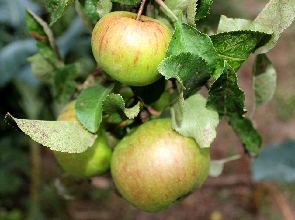 Download Free Stock HD Photo of Fruits of wild apple tree Online