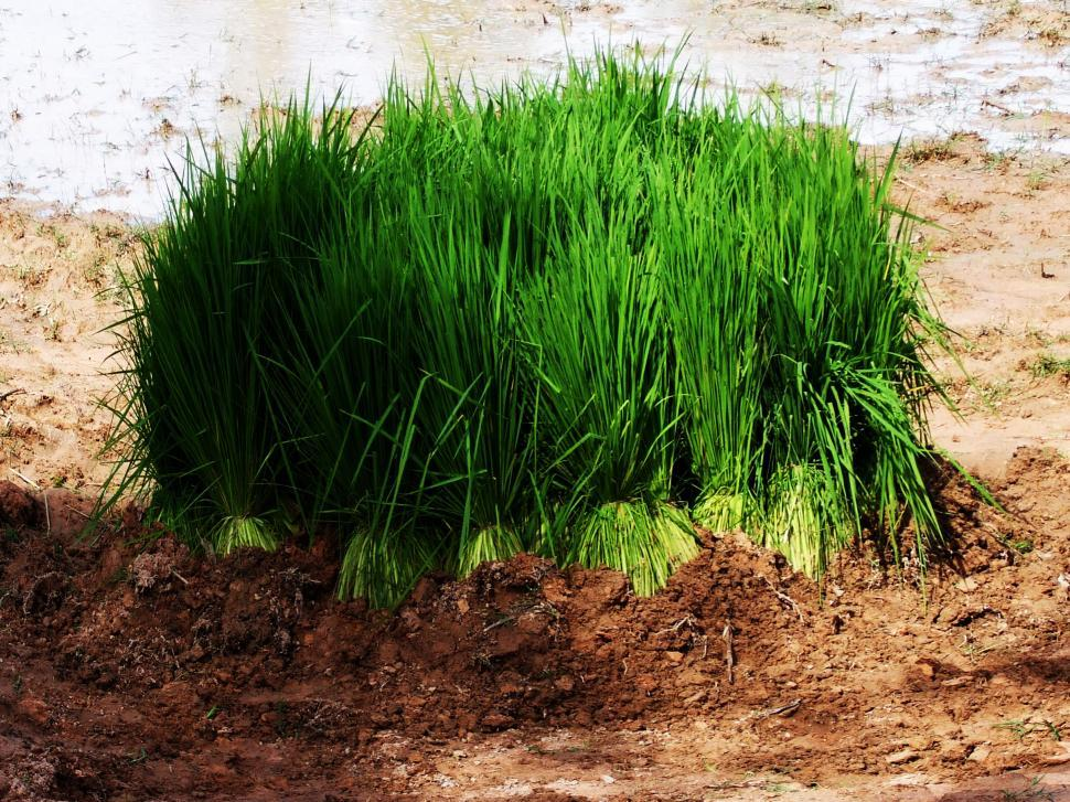 Download Free Stock HD Photo of Rice seedlings prepared for planting season - Cambodia Online
