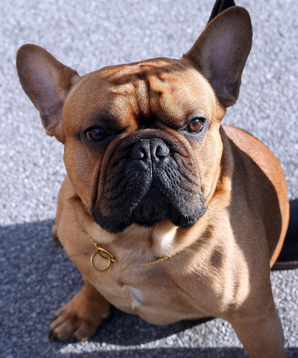 Download Free Stock HD Photo of French bulldog Online