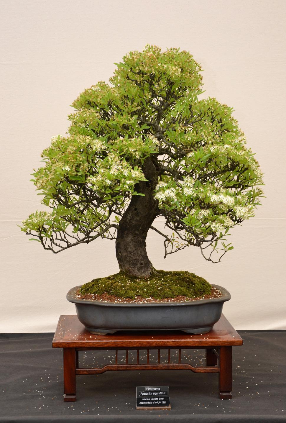 Download Free Stock HD Photo of Firethorn bonsai Online