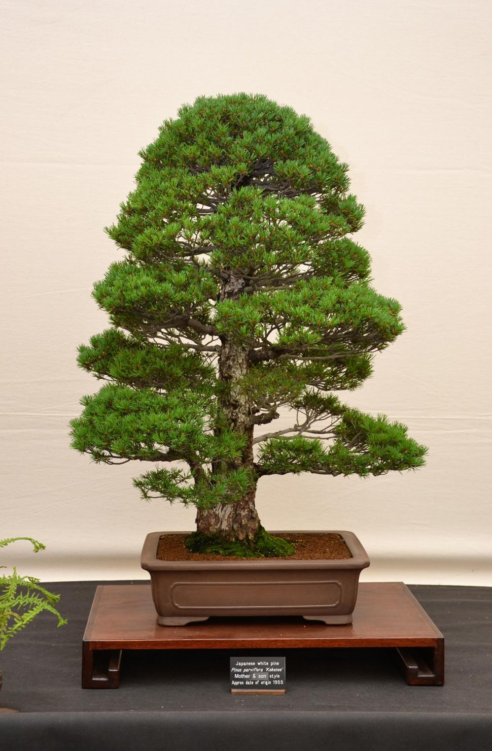 Download Free Stock HD Photo of Japanese white pine bonsai Online