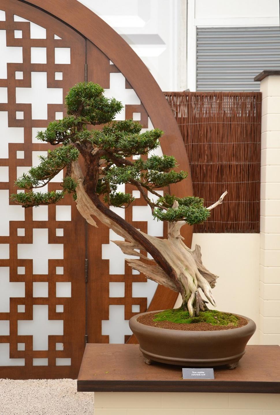 Download Free Stock HD Photo of Japanese yew bonsai Online