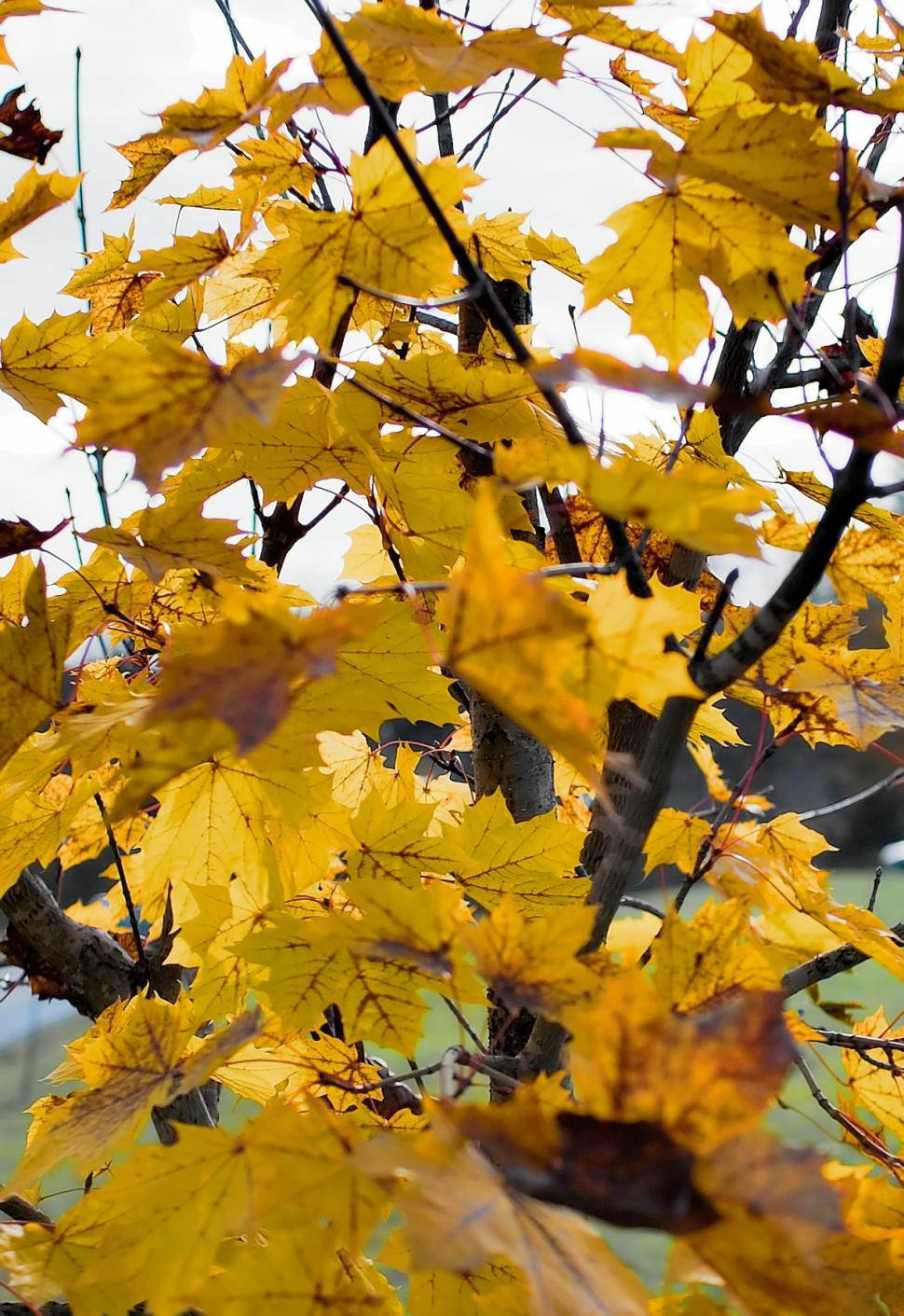 Download Free Stock HD Photo of Yellow leafs Online