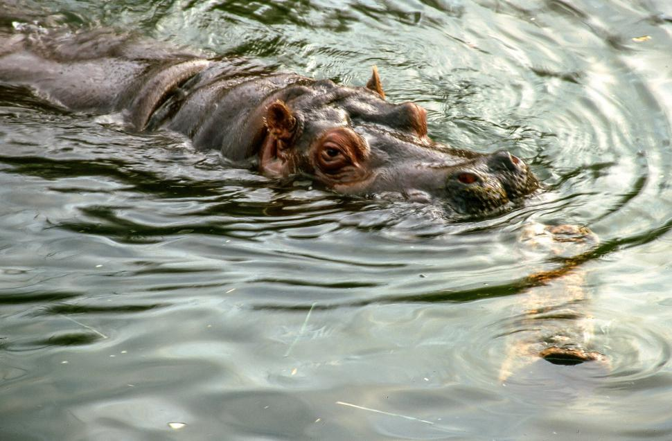 Download Free Stock HD Photo of Hippopotamus glares through the water Online