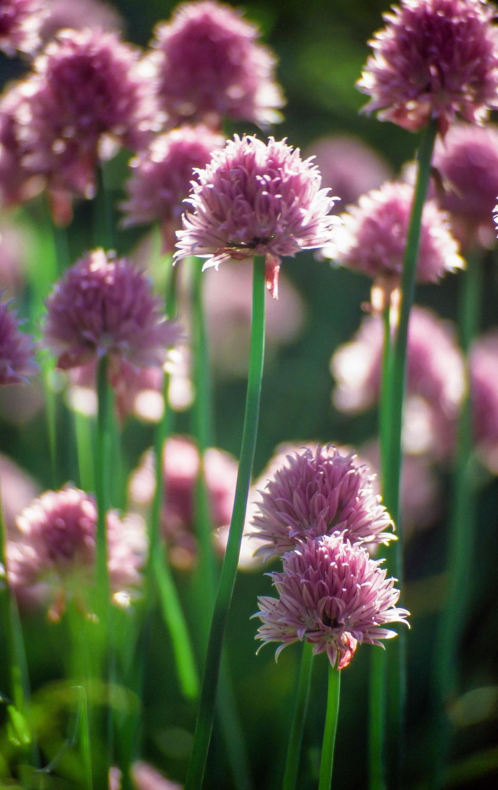Download Free Stock HD Photo of Thistle Flowers Online