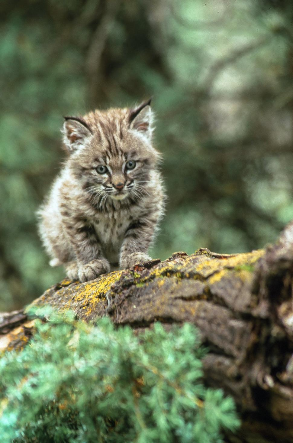Download Free Stock HD Photo of Bobcat kitten faces camera Online