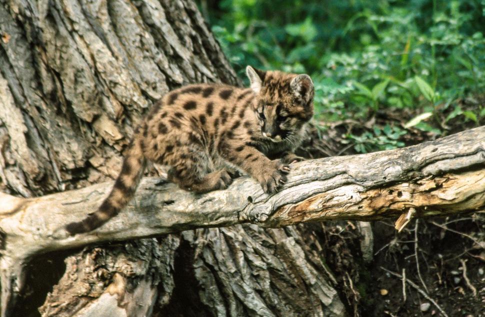 Download Free Stock HD Photo of Mountain Lion Kitten Online