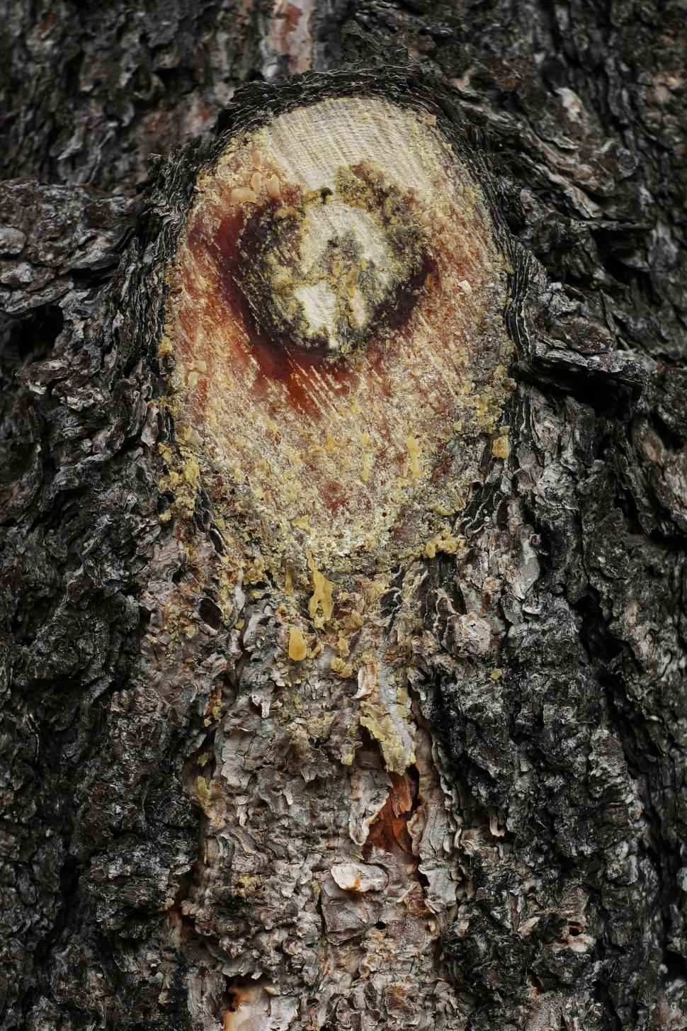 Download Free Stock HD Photo of Cut tree sap Online