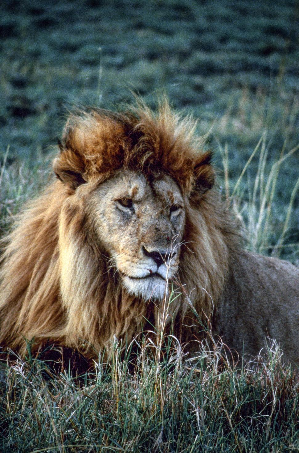 Download Free Stock HD Photo of Lion Online