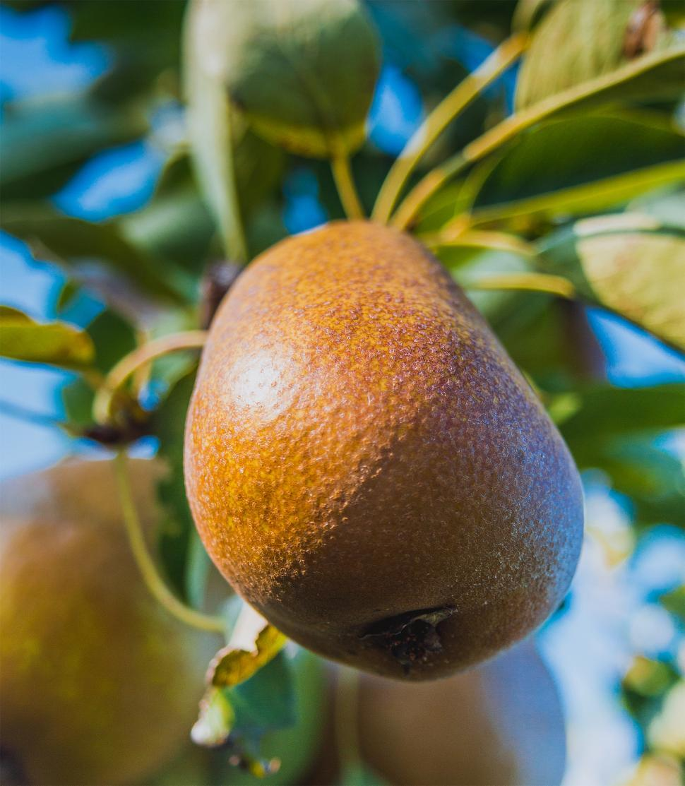 Download Free Stock HD Photo of Pear on the tree  Online