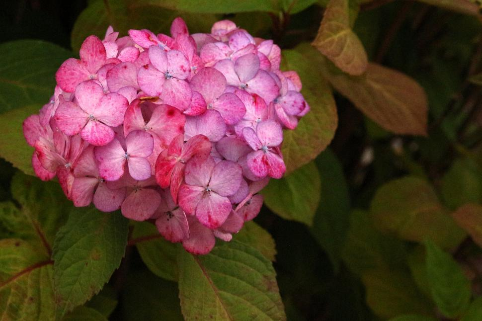 Download Free Stock HD Photo of Hydrangeas Red Flowers Closeup Online