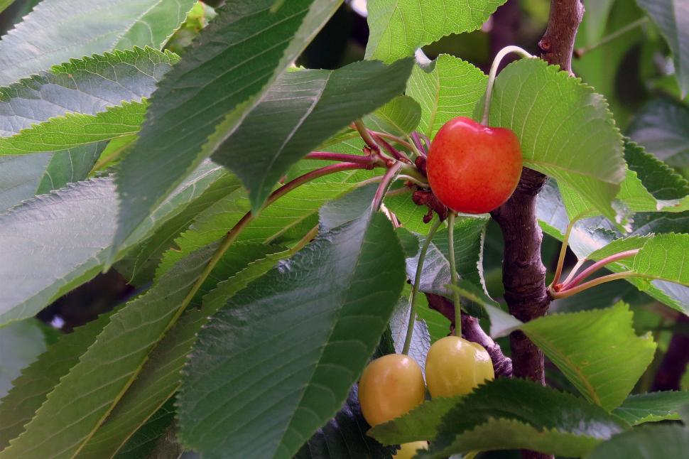 Download Free Stock HD Photo of Cherries On Tree Online
