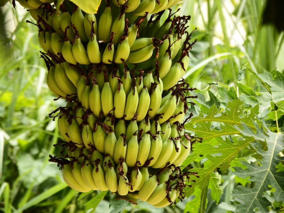 Download Free Stock HD Photo of Banana Bunch Growing  Online