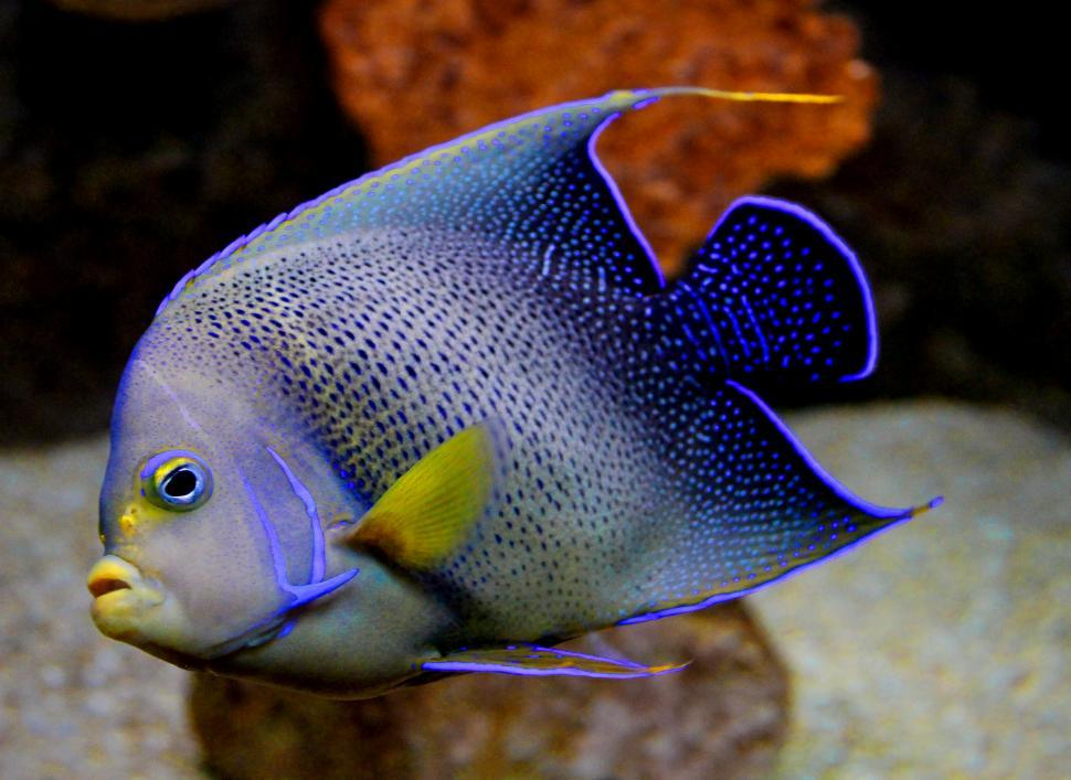 Download Free Stock HD Photo of Semicircle Angelfish or Blue Angelfish - Pomacanthus semicircula Online