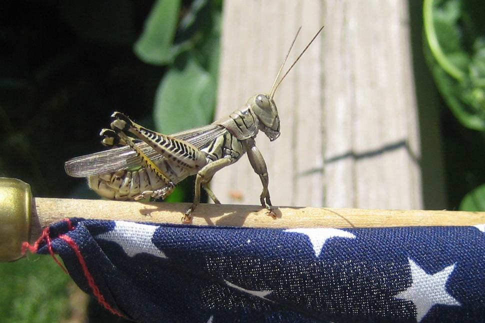 Download Free Stock HD Photo of American Grasshopper Online