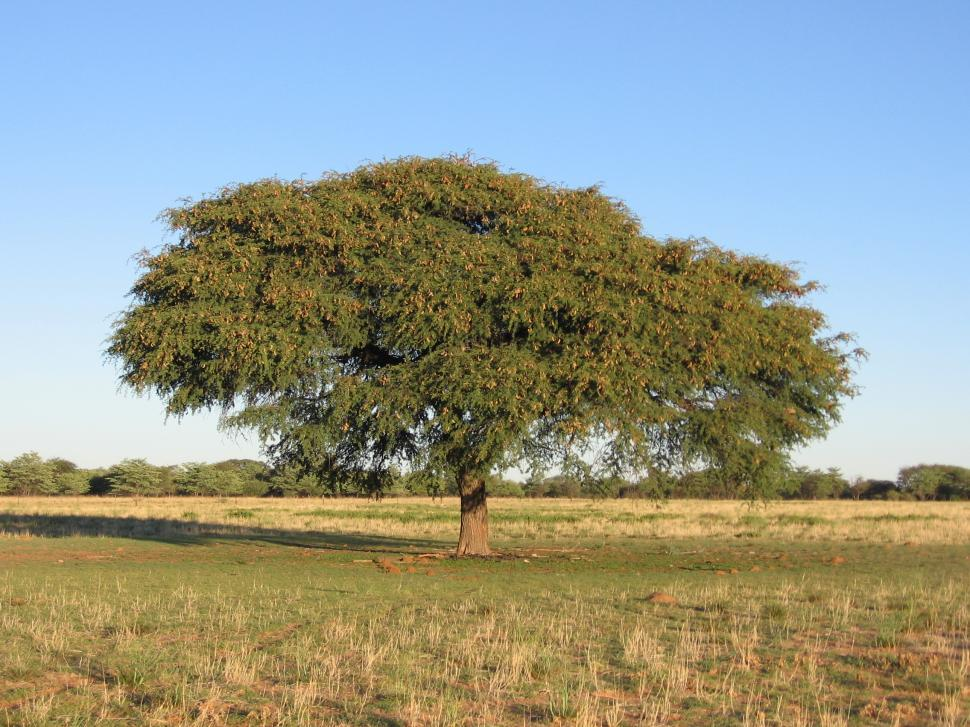 Download Free Stock HD Photo of Camel Thorn Tree Online
