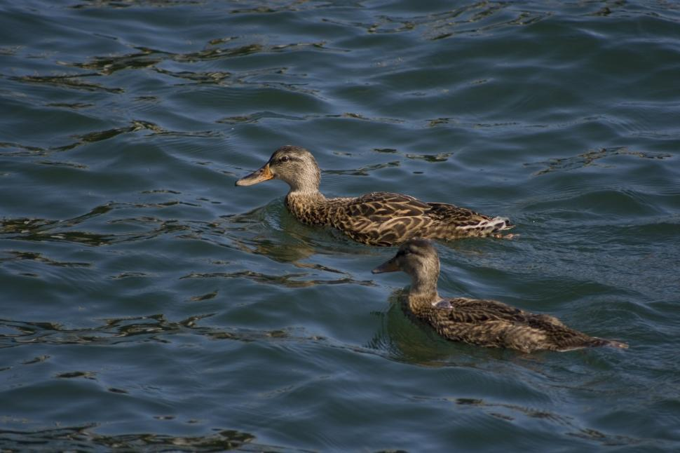 Download Free Stock HD Photo of Ducks in the Harbor Online