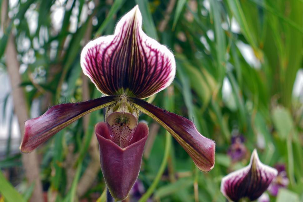 Download Free Stock HD Photo of Purple Lady s Slipper Orchid Online