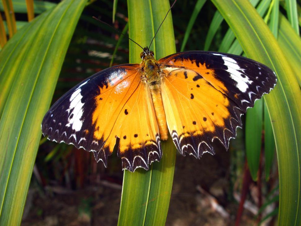 Download Free Stock HD Photo of Orange Lacewing Butterfly  Online