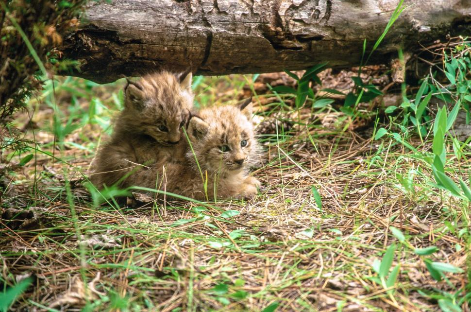 Download Free Stock HD Photo of Two Lynx Kittens Online