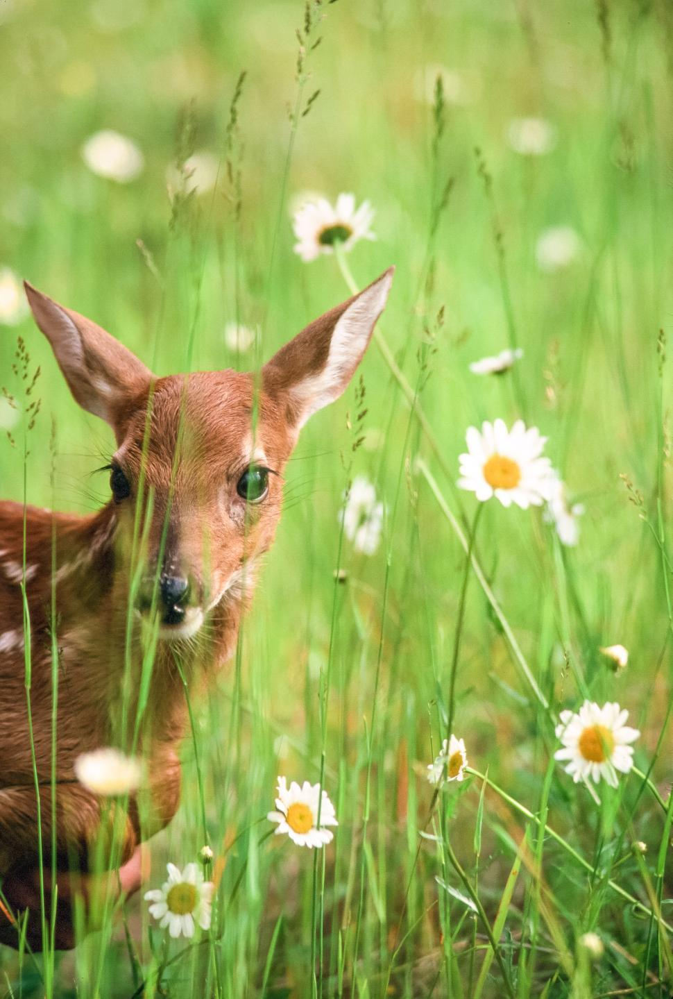 Download Free Stock HD Photo of Young Deer in grass Online