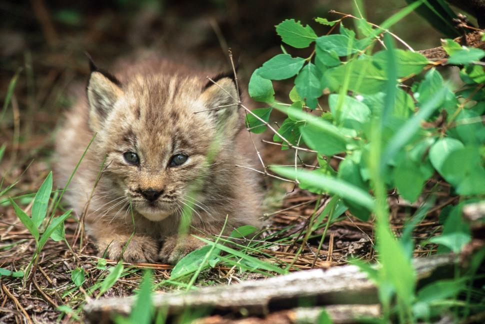 Download Free Stock HD Photo of Lynx Kitten Online