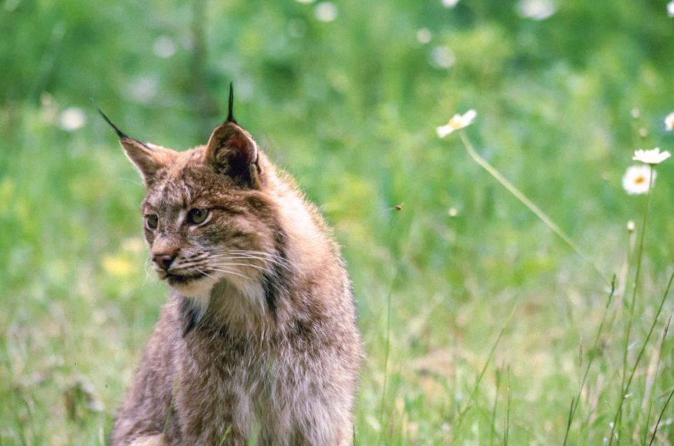 Download Free Stock HD Photo of Lynx looking after kittens Online