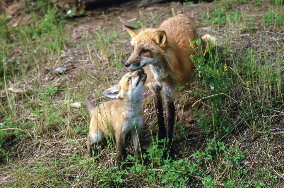Download Free Stock HD Photo of Red Fox Vixen and Kit Online