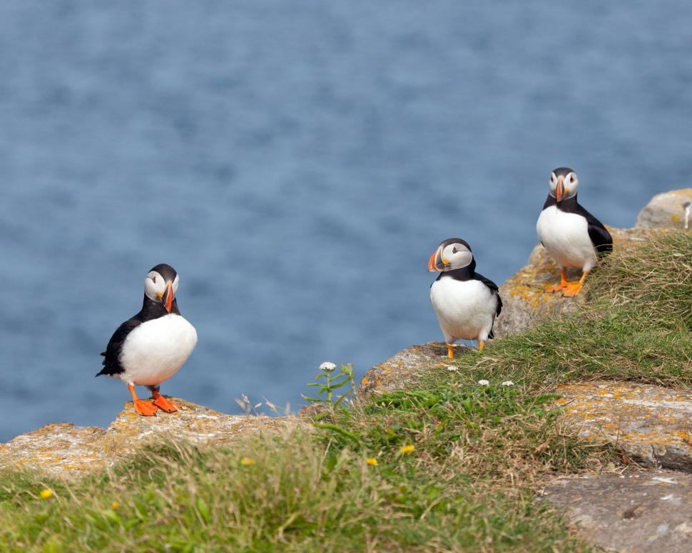 Download Free Stock HD Photo of Three Puffins on Rocks Online