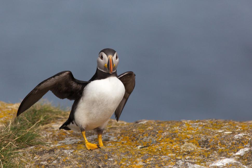 Download Free Stock HD Photo of Puffin with Wings Back Online