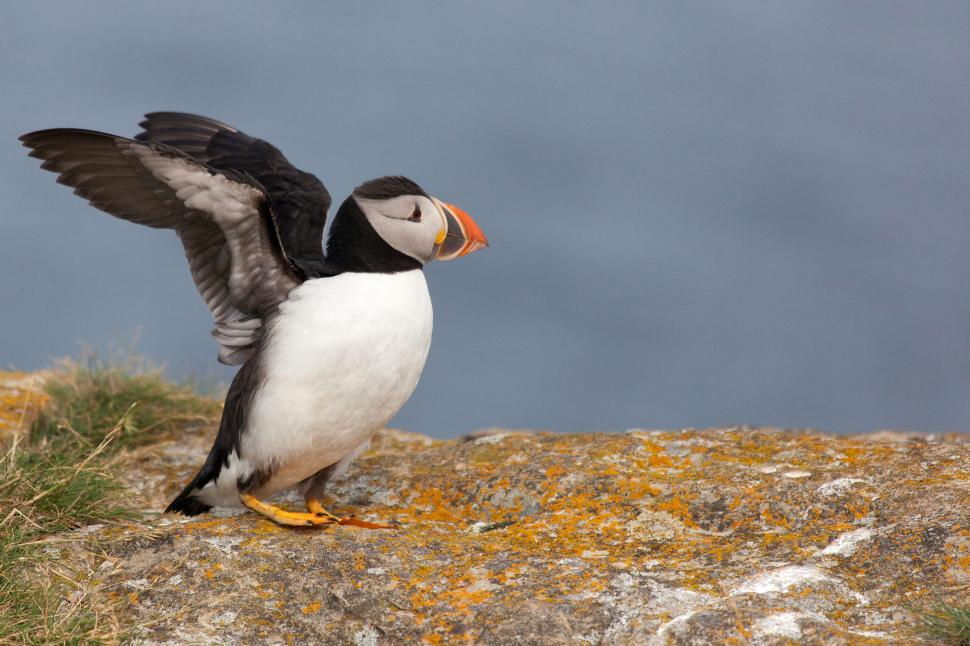 Download Free Stock HD Photo of Puffin with Wings Extended Online