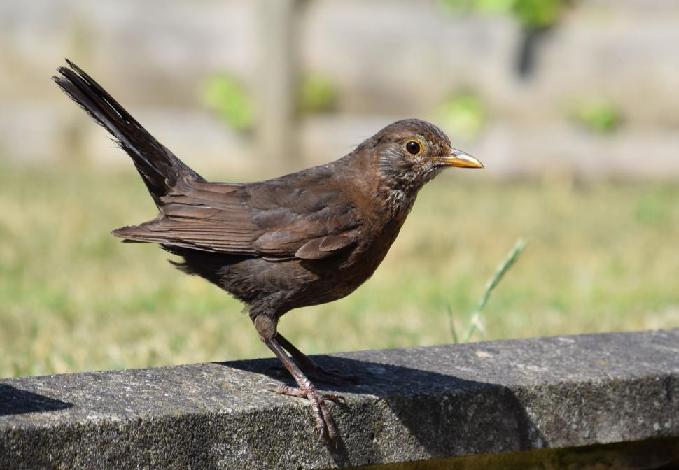 Download Free Stock HD Photo of Female Blackbird Online