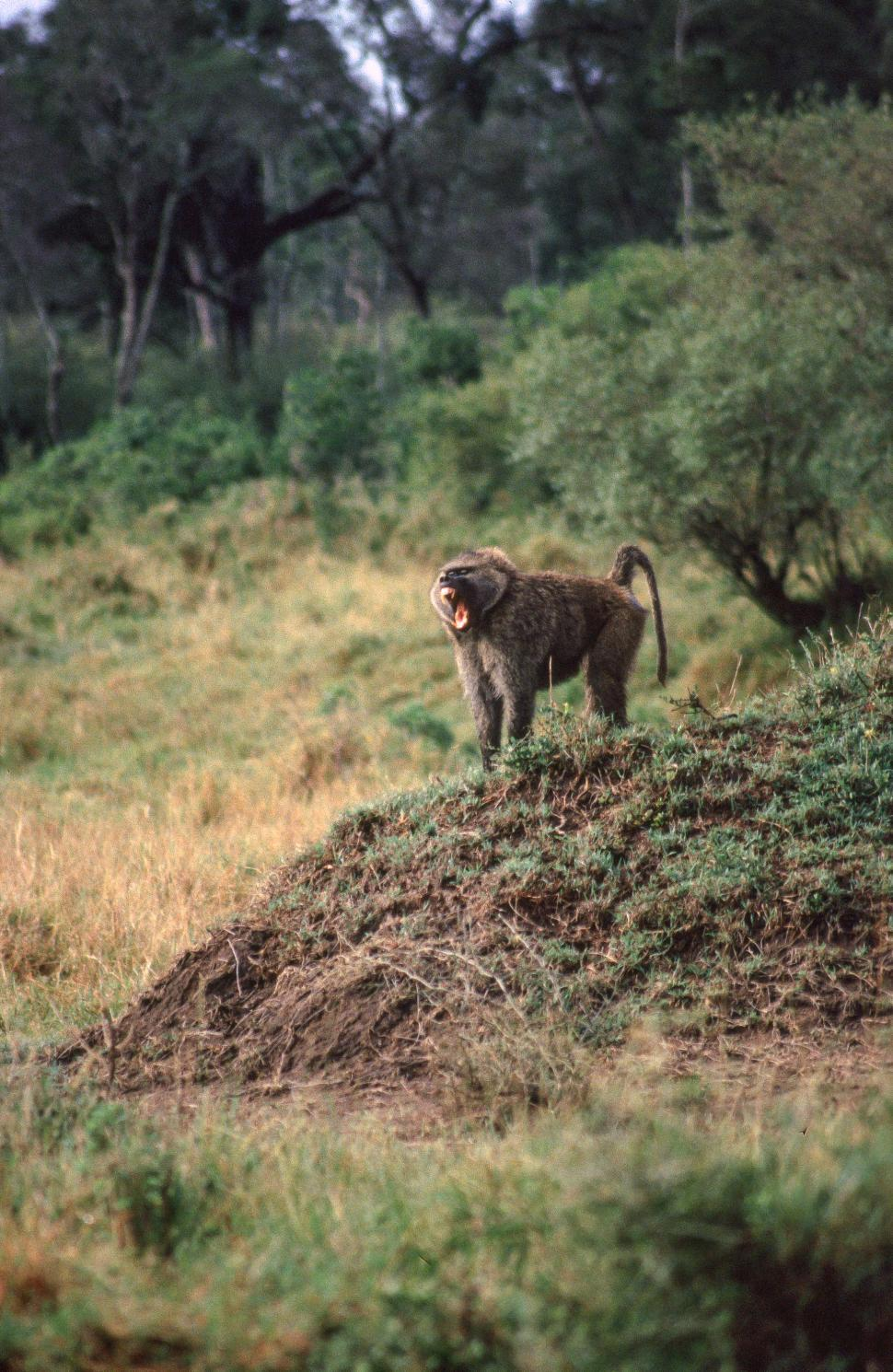 Download Free Stock HD Photo of Lone Baboon Howling Online