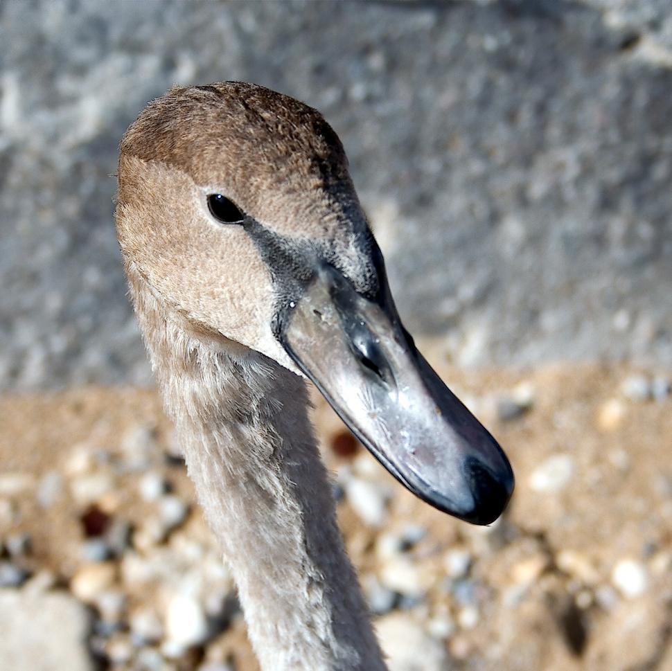 Download Free Stock HD Photo of Swan portrait Online