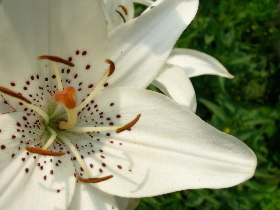 Download Free Stock HD Photo of Flowers - Lily Online